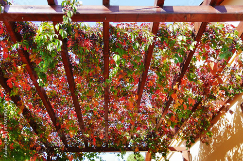 Virginia creeper autumn leaves and berries covering a wooden pergola attached to Fototapeta