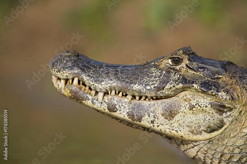 Garden Poster Crocodile Kaiman ruht sich aus