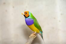 Beautiful Bird Of Guild Amadine Sits On Perch Closeup