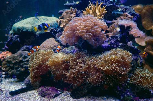 Plakat Morski anemon z clown ryb