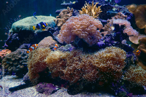 Fototapeta Morski anemon z clown ryb