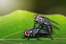 Image Of Mating Flies On Green...
