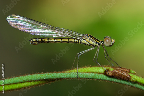 libellago-gatunek-wazki-na-zielonej-galezi