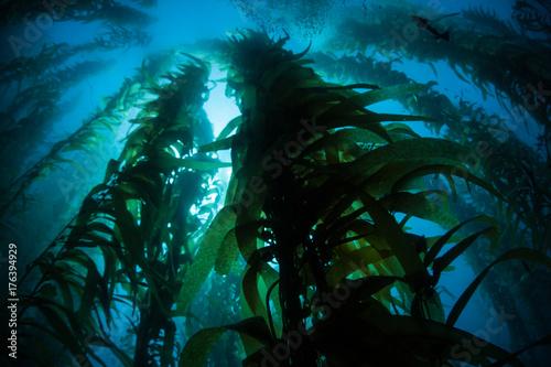 Giant Kelp Growing in Underwater California Forest