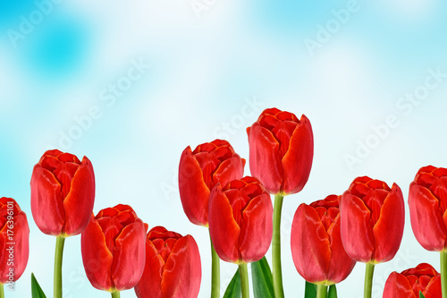 Foto op Aluminium Rood traf. Bright and colorful flowers tulips