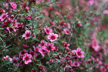 Pink Waxflowers (Chamelaucium)...