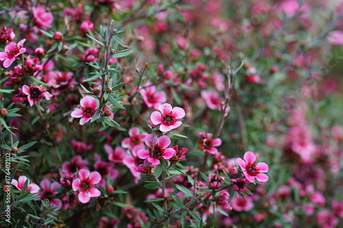 Fototapeta Pink waxflowers (Chamelaucium) growing on a shrub obraz