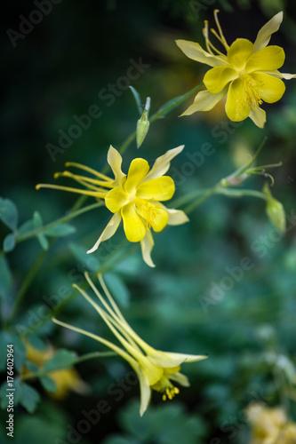 Golden columbine (Aquilegia chrysantha) Canvas Print