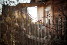Beautiful Dry Brown Leaves, Branches, Rosehip Berries Of Briar Tree In Front Of Boardwalk Facade Of Dark-gray Old Summer House With Single Window During Moody Grey Autumn Day. Selective Focus.