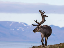 Svalbard Male Reindeer With Bi...