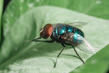 Fly Insect Macro