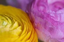 Macro Of Two Pink And Yellow R...
