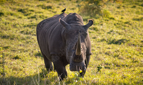 Fényképezés  Single male white rhino in the South African bush with tickbird