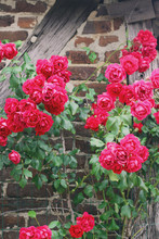 Hot Pink Roses Against An Old ...