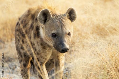Foto op Aluminium Hyena Iena