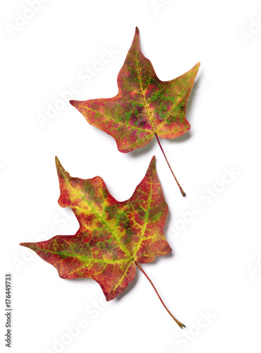 Fotografie, Obraz  Brilliant fall colors on pair of autumn maple tree leaves isolated on white back