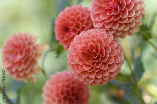 Group of Peach Colored Dahlias in Garden