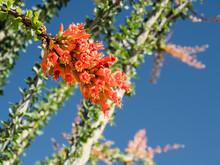 Ocotillo Flowers, Ocotillo Pat...