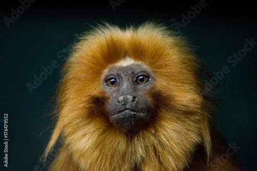 Foto op Plexiglas Aap Golden Lion Tamarin Portrait