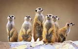 Fototapeta Zwierzęta - Group of watching surricatas outdoor