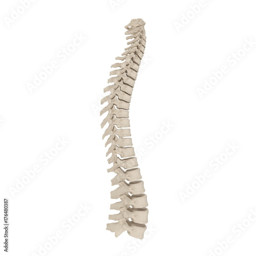 Fotografía  Human Spinal Cord on white. 3D illustration