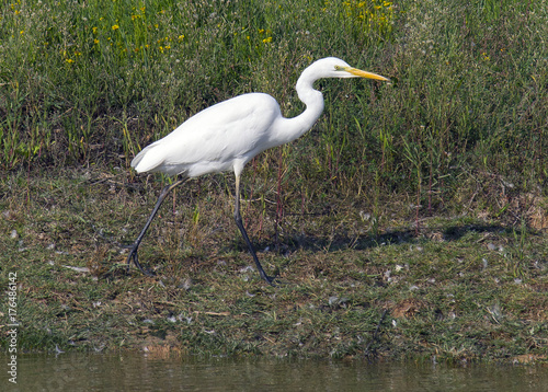 Great Egret (Ardea alba) is a species of bird in the Ardeidae family Wallpaper Mural