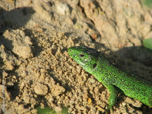 Poster Chamaleon lizard on the sand