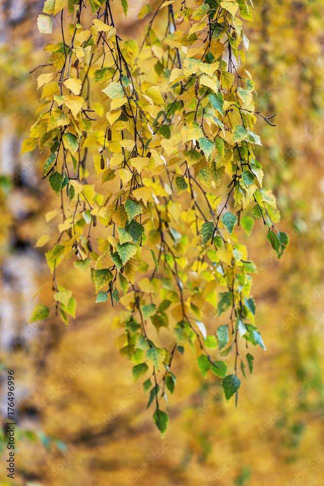 yellow and green birch foliage