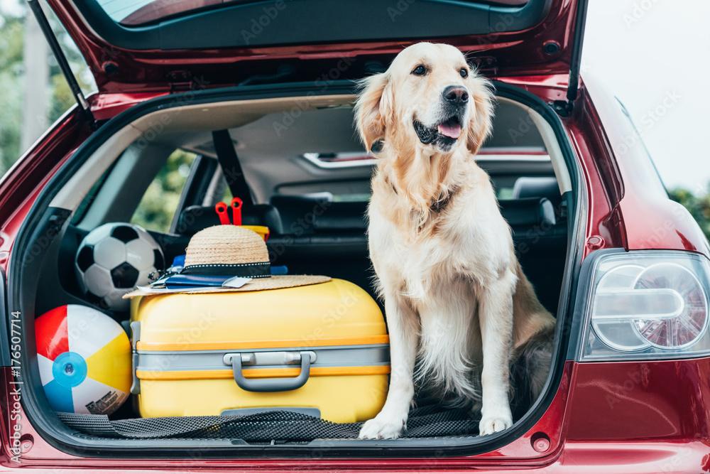 Fototapeta dog sitting in car trunk with luggage