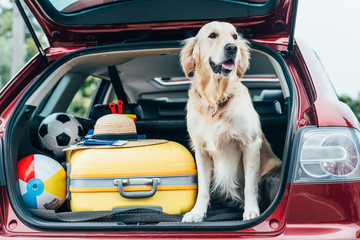 Fototapeta Pies dog sitting in car trunk with luggage
