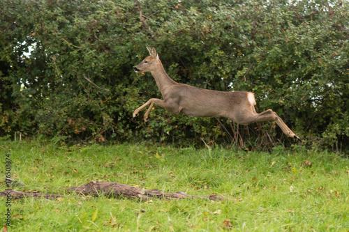 Fotobehang Ree Roe deer (Capreolus capreolus) doe leaping. Small elegant deer in family Cervidae, showing white rump in the air