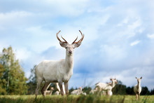 Beautiful White Color Red Deer...