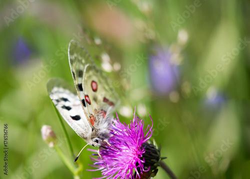Fototapeta Macrophotographie de papillon - Apollon (Parnassius apollo)