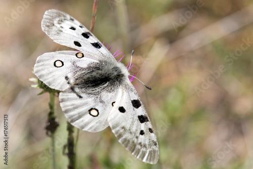 Fotografie, Obraz  Macrophotographie de papillon - Apollon (Parnassius apollo)
