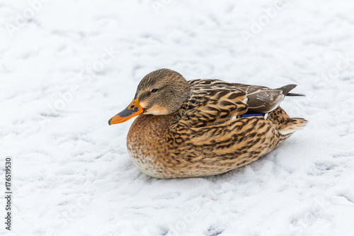 Mallard Duck Female Resting On A Snow And Looking Into The