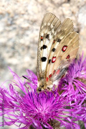 Fotografie, Obraz  Macrophotographie de papillon - Petit apollon (Parnassius sacerdos)