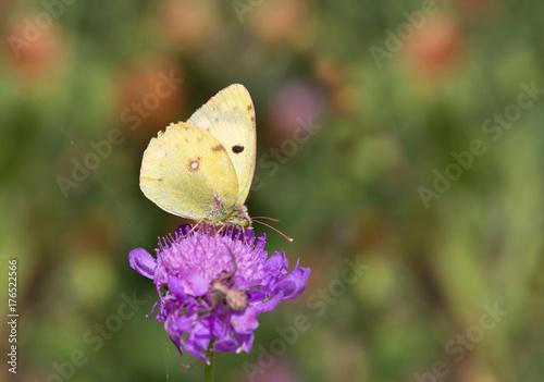 Valokuvatapetti Macrophotographie de papillon - Soufre (Colias hyale)