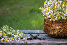 Freshly Picked Camomile