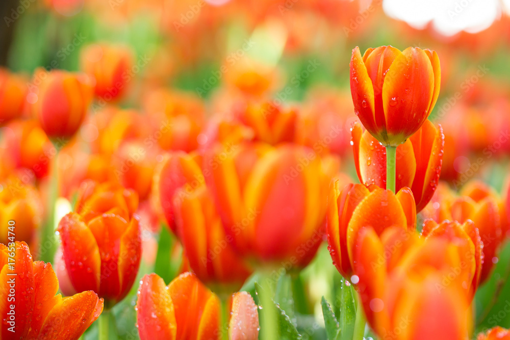 Fototapety, obrazy: colorful orange tulips flowers in the garden