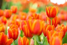 Colorful Orange Tulips Flowers...