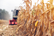 Harvesting Corn Crop Field. Co...