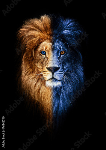 Fototapety, obrazy: Portrait of a Beautiful lion, lion in dark, fire and ice
