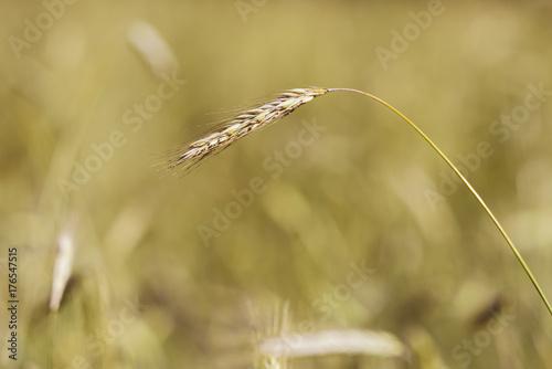 Fototapety, obrazy: Wheat ear on a background of wheat fields in blur