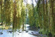 Foliage Of Weeping Willow With...