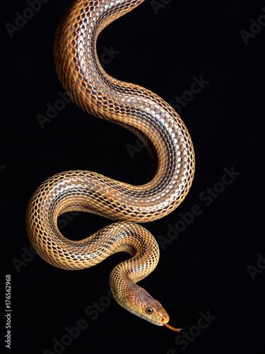 Cuadros en Lienzo snake elaphe dione
