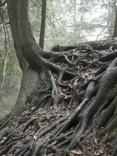 Tree With Exposed Roots Growing On A Rock