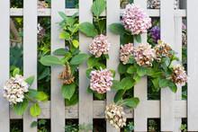 Hydrangea Flowers Peeking Thro...