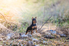 Miniature Pinscher Dog.