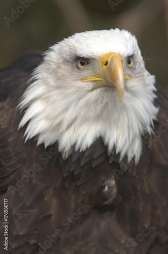 Mature adult Bald eagle (Haliaeetus leucocephalus)