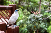 Bali Mynah Bird At The Edward ...